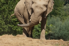 Elephant-beauval