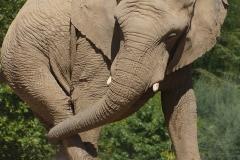 Elephant-de-beauval