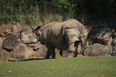 Rhino-de-beauval