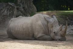 Rhinoceros-de-beauval