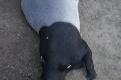 Tapir-de-beauval