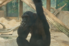 chimpanze-beauval