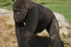 gorille-de-beauval