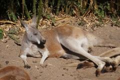 kangourou-de-beauval