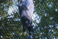 perroquet-bleu-beauval