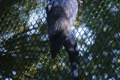 perroquet-bleue