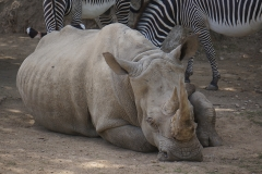 rhinoceros-gros-plan