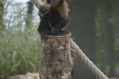 singe-petit-droit