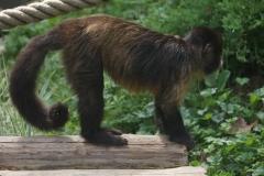 singe-petit
