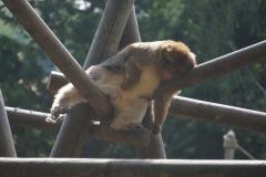 singe-tranquille