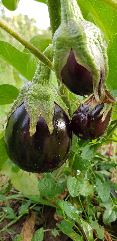 il_faut_cultiver_son_jardin_aubergine