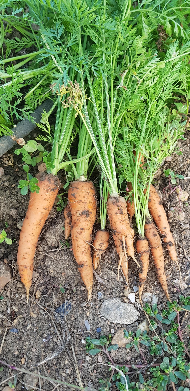 il_faut_cultiver_son_jardin_carotte
