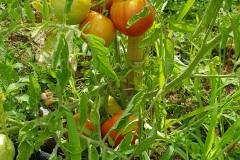 tomates_19_6