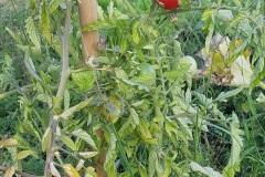 tomates_19_7