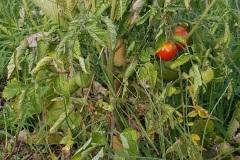 tomates_19_8
