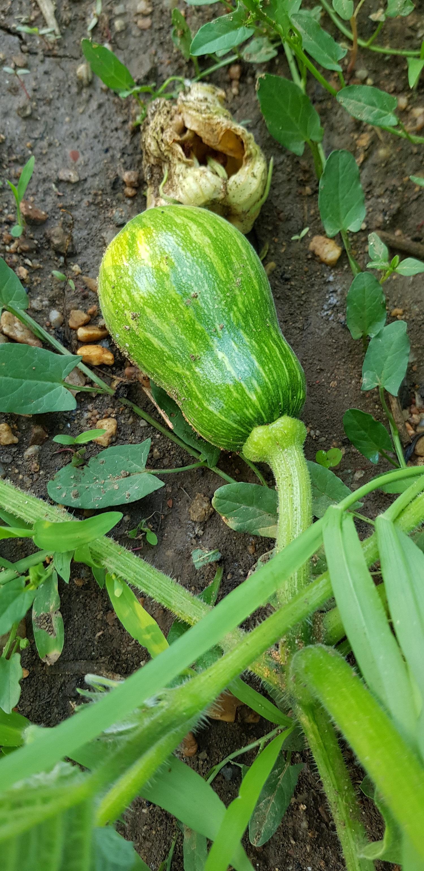 Il faut cultiver son jardin - La sucrine du Berry