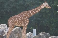 Girafe-seule-beauval
