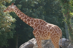 Girafe-seule-de-beauval