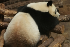 Panda-de-beauval