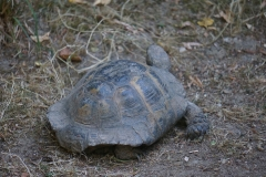 Tortue-beauval