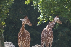 girafe-en-deux