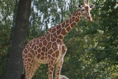 girafe-seule