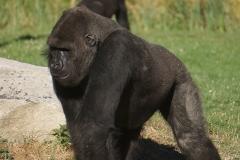 gorillle-beauval