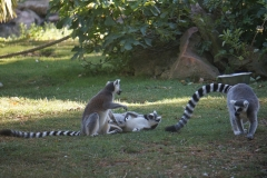 lemurien-beauval