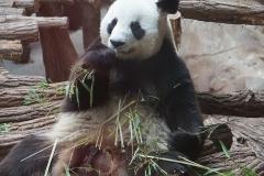 pandan-gean-de-beauval