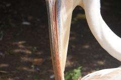 pelican-bec