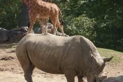 rhino-girafe