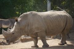 rhino-gros-plan