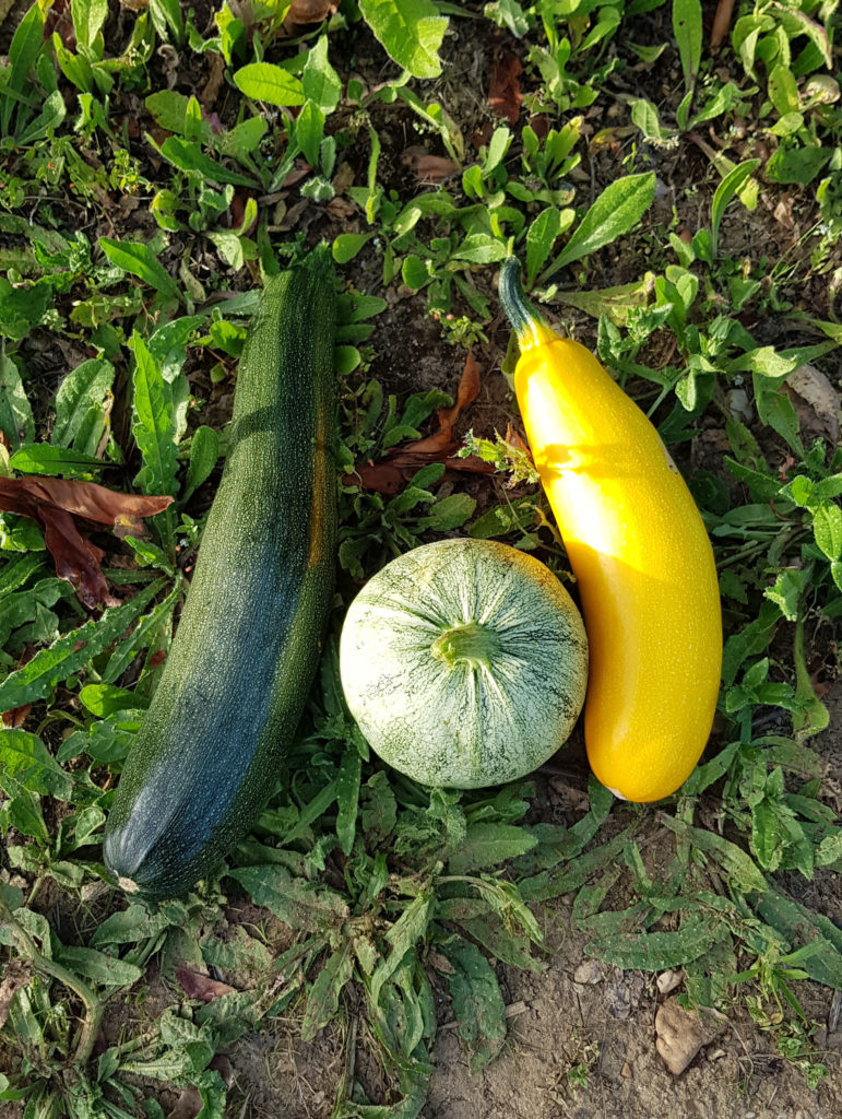 differentes courgettes